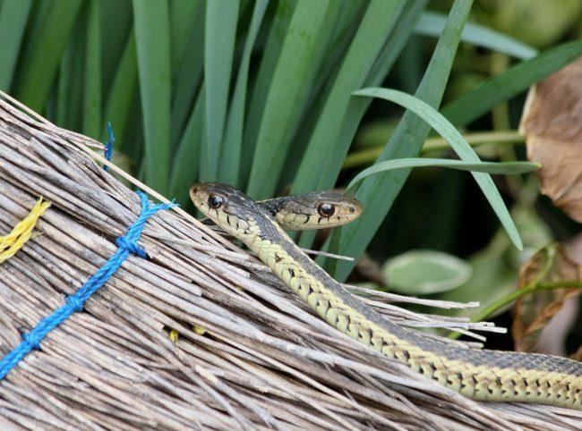 El mejor repelente de serpientes: consejos para mantener a las serpientes lejos de su jardín